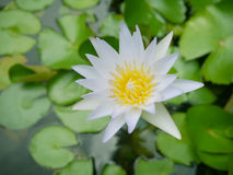 För vatten lotusblommablomma lilly - Arkivbilder