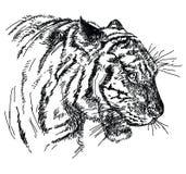 För vektorhand för tiger head illustration för teckning Royaltyfria Bilder