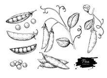 För vektorillustration för ärta hand dragen uppsättning Isolerat grönsak inristat stilobjekt Detaljerad vegetarisk mat vektor illustrationer
