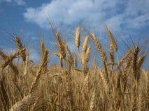 För vetefält för detalj för lantgård sädesslag för plats utomhus lantlig Arkivbild