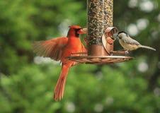 För vingar kardinal ut - Arkivfoton