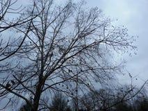 För vinterträd för blåa himlar filialer Royaltyfri Fotografi