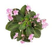 För Violetsblommor för den inomhus våren isolerade den rosa busken royaltyfri bild