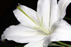 För vit makro lilly på svart bakgrund Arkivfoton