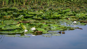 För vit Nymphaeaalbum waterlily Arkivbilder