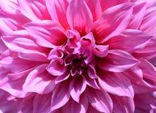 För vit- och rosa färgdahlian för närbild gör sammandrag den härliga blom- blomman bakgrund Royaltyfri Bild