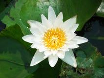 För vit vatten lilly Arkivbild