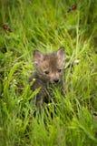 För Vulpesvulpes för röd räv satser Kit Alone i gräs Arkivfoton