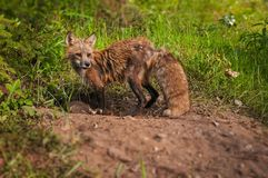 För Vulpesvulpes för röd räv argbiggan ser i väg från håla Royaltyfri Bild