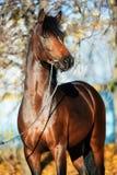 För welsh för mörk fjärd som sportive hingst ponny poserar nära höstträd royaltyfria foton