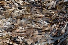 För wrackFucus för bruna alger den tandade serratusen Arkivfoton
