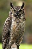 förargad owl Royaltyfri Fotografi
