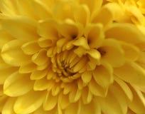 Förband den perfekta placeringen för den slående gula blomman av varje kronblad till det nästa Royaltyfri Fotografi