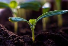 Förbereda sig för odlingen av växter i trädgården grön grodd kom fjädern Grogrund Dekorativ etikett för design hydroponics Arkivbild