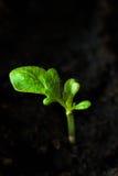 Förbereda sig för odlingen av växter i trädgården grön grodd kom fjädern Grogrund Dekorativ etikett för design hydroponics Royaltyfria Bilder