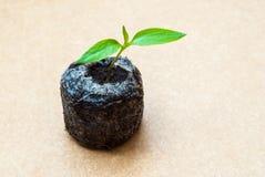 Förbereda sig för odlingen av växter i trädgården grön grodd kom fjädern Grogrund Dekorativ etikett för design hydroponics Fotografering för Bildbyråer