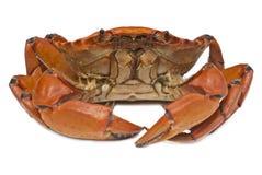 förberedd krabba Royaltyfri Bild