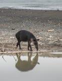 Förberedd tapir att ta ett bad i Corcovado Arkivfoton