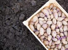Förberedda spira potatisar för plantera i träask Arkivbild