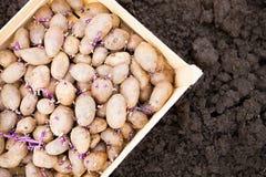 Förberedda spira potatisar för plantera i träask Royaltyfri Fotografi