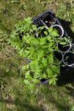 Förberedelse av plantor för att plantera Royaltyfria Bilder