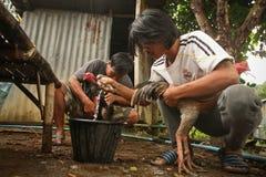 Förberedelse av roosters för ett slagsmål Arkivfoton