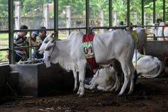 Förberedelse för Eid al-Adha i Indonesien Royaltyfri Fotografi