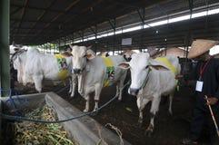 Förberedelse för Eid al-Adha i Indonesien Arkivbild