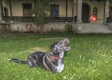 Förbereder sig svart vit färg för hunden, att hoppa över äpplena Arkivfoton