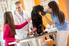 Förbinda benet av den stora gjorda hunden och trösta honom i den skröpliga veterinären Fotografering för Bildbyråer