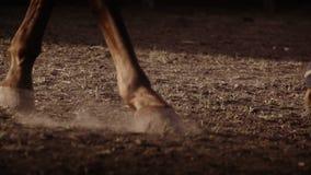Förbinder det bärande benet för hästen