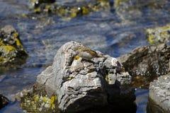 Förbipasserandedomesticus eller gråsparv i ett vatten Arkivfoto