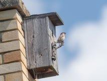 Förbipasserandedomesticus - fåglar, sparv framme av båset royaltyfri bild