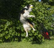 Förbluffa Aussie Catching en boll i Mid Air royaltyfri bild