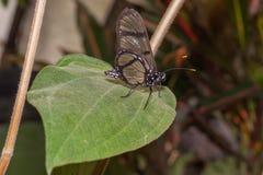Förbluffa Cattleheart Swallowtail, fjäril, amazonian rainforest arkivfoton