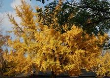 Förbluffa den enorma gamla Ginko trädGinko bilobaen i guld- höstfärg i Sydkorea royaltyfria bilder