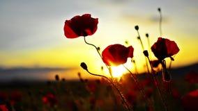 Förbluffa den Poppy Fire blomman stock video