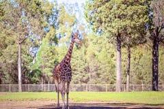Förbluffa djuret den högväxta giraffet royaltyfri foto