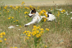 Förbluffa Jack Russell terrierspring och banhoppning Fotografering för Bildbyråer