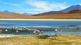 Förbluffa Laguna Colorada landskap med flocken av härliga flamingo lager videofilmer