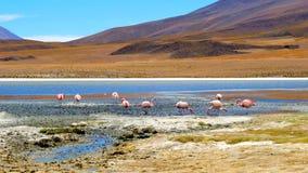 Förbluffa Laguna Colorada landskap med flocken av härliga flamingo stock video