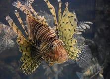 Förbluffa randiga Zebrafish som ser upp under vatten Fotografering för Bildbyråer