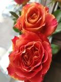 Förbluffa rosor från förälskelse royaltyfria foton