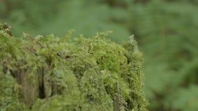 Förbrylla i den gamla trädstubben för skogen som täckas med mossa Förbrylla prydlig grön mossa sörjer barrträdForest Park trä arkivfilmer