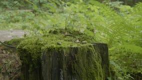 Förbrylla i den gamla trädstubben för skogen som täckas med mossa Förbrylla prydlig grön mossa sörjer barrträdForest Park trä lager videofilmer