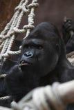 förbryllad östlig gorilla Royaltyfria Bilder