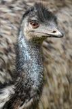 förbryllad emu arkivbilder