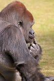 förbryllad gorilla Arkivfoto