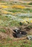 förbunden den magellanic patagoniapingvinet Arkivfoto
