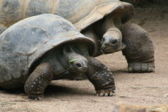 förbunden gulliga sköldpaddor Royaltyfria Foton